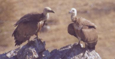 Birds of prey in Ronda Spain